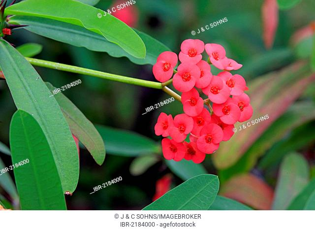 Crown of Thorns (Euphorbia milii), flowering, Nosy Be, Madagascar, Africa