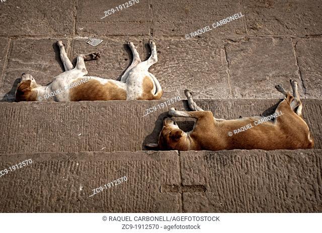 Dogs sleeping at the Ganges river ghats Varanasi, Benares, Uttar Pradesh, India