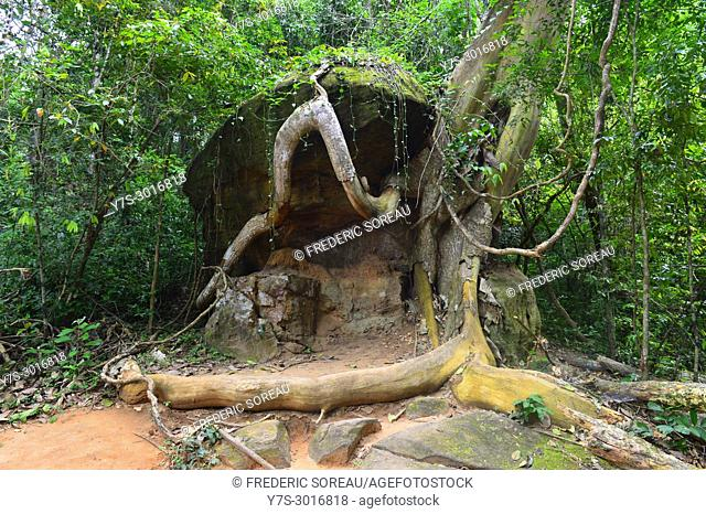 Tree roots hugging a boulder in the jungle by Kbal Spean, a remote Angkor site in Cambodia, South East Asia, Asia