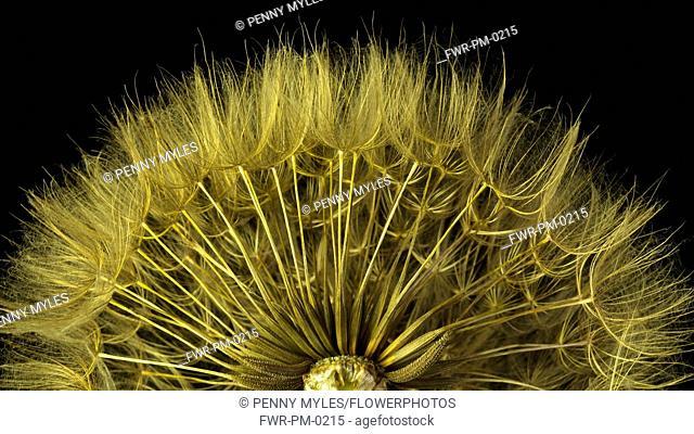 Salsify, Tragopogon porrifolius, Studio shot showing delicate texture and pattern.-