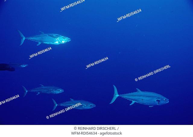 Dogtooth tuna, Gymnosarda unicolor, Africa Sinai Sharm el Sheik Red Sea, Egypt