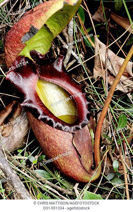 Nepenthes rajah, Mount Kinabalu National Park, Sabah, Borneo
