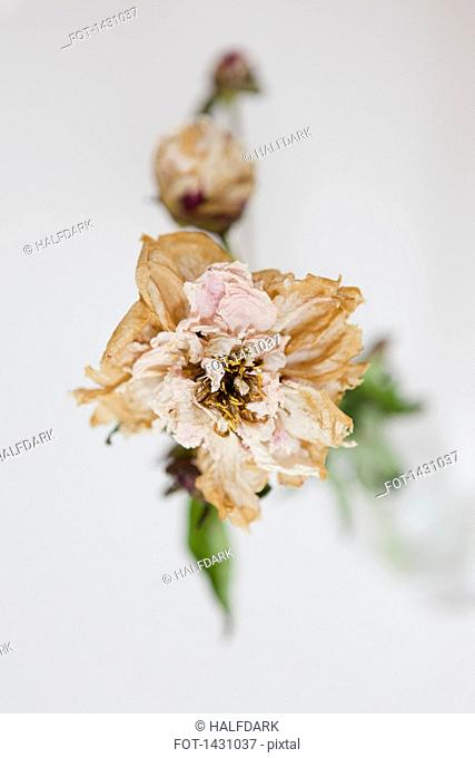 High angle view of drying flower on white background