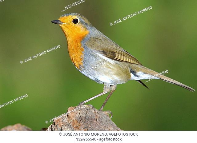 European Robin (Erithacus rubecula). Andujar, Jaen province, Andalusia, Spain
