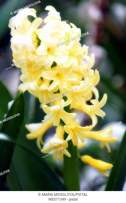 Yellow Hyacinth covered with snow. Hyacinthus orientalis hybrid. April 2007, Maryland, USA