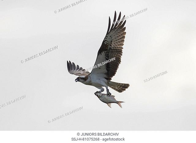 Osprey (Pandion haliaetus) in flight, with fish prey in its talons. Germany