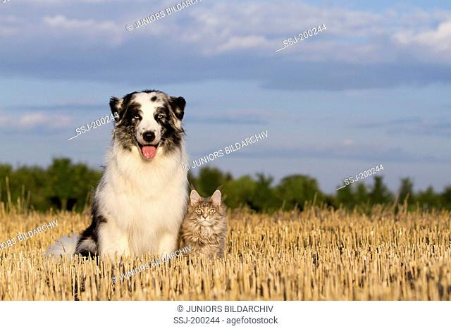 American Longhair, Maine Coon. Adult cat and Australian Shepherd sitting next to each other in a stubble field. Germany
