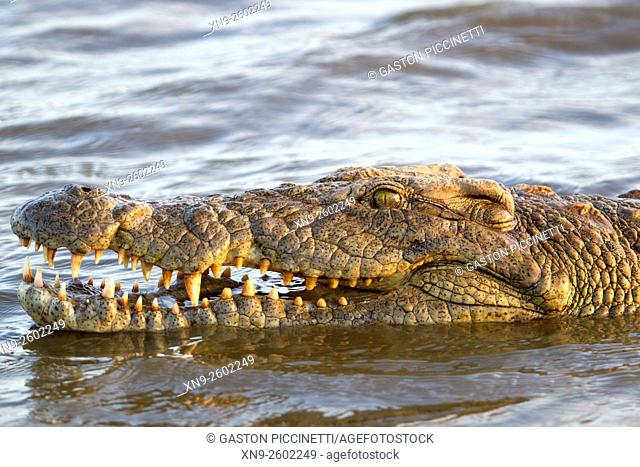 Nile crocodile (Crocodylus niloticus), Kruger National Park, South Africa