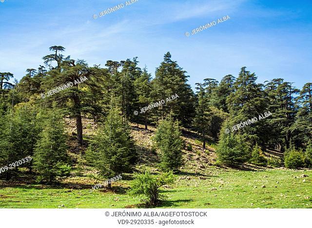 Atlas cedar forest, near Azrou, Middle Atlas. Morocco, Maghreb North Africa