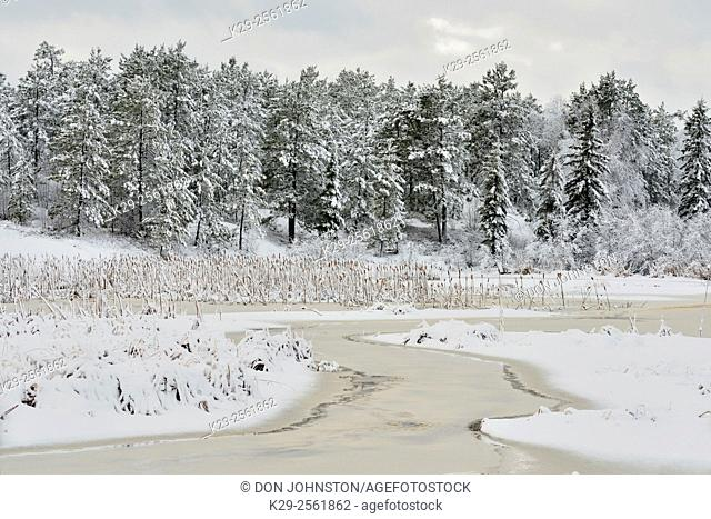 Fresh wet snow clinging to tree branches and grasses in a wetland, Greater Sudbury, Ontario, Canada
