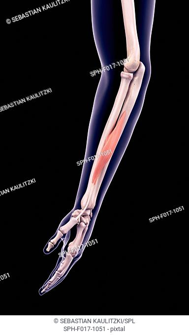 Illustration of the adductor pollicis longus muscle