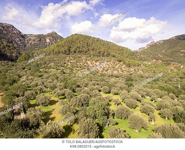 Olive trees, Alqueria d'Avall, Bunyola, Mallorca, balearic islands, spain, europe