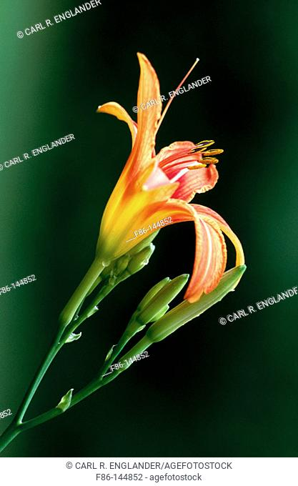 Day-lily (Hemerocallis fulva)