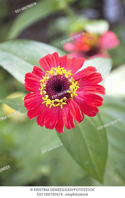 A bright red Zinnia blooming in the light