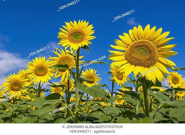 Sunflowers field in summer. Las Merindades County Burgos, Castile and Leon, Spain, Europe