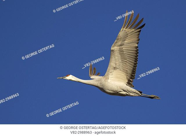 Sandhill crane in flight, Bernardo Wildlife Management Area, New Mexico
