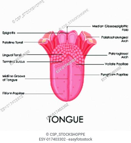 The vallate papillae Stock Photos and Images   age fotostock