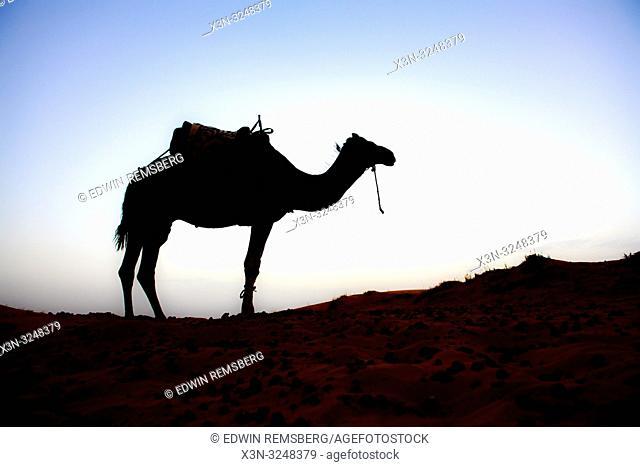 Camel Standing Alone in the Desert of Merzouga, Morocco. Sahara Desert