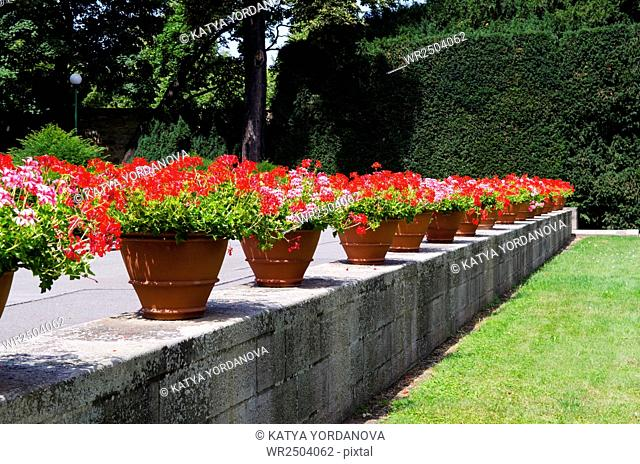 A row of flowerpots with red flowers