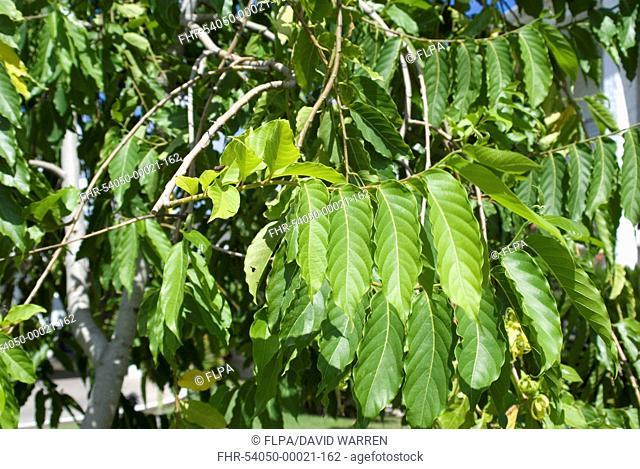 Ylang-ylang (Cananga odorata) close-up of leaves, Grenada, Grenadines, Windward Islands, Lesser Antilles, August