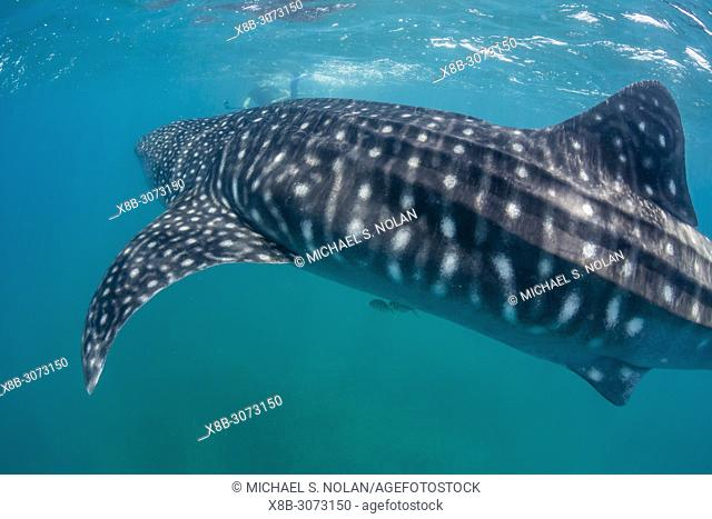 Young whale shark, Rhincodon typus, underwater with snorkeler at El Mogote, Baja California Sur, Mexico