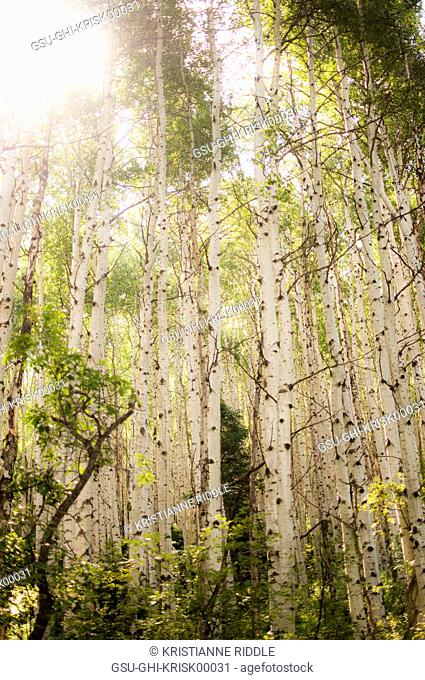 White Aspen Tress, Low Angle View, Colorado, USA