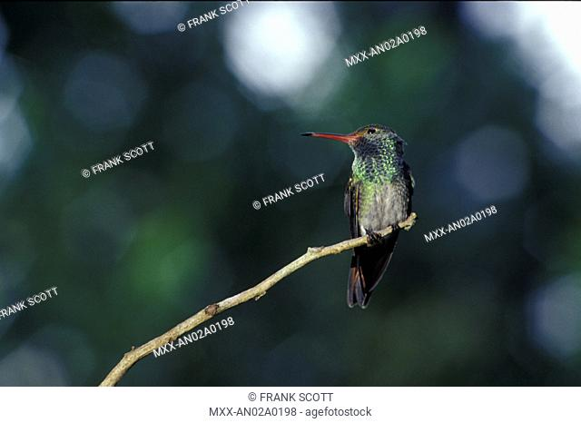 Rufous-Tailed Hummingbird, Ojochal, Costa Rica
