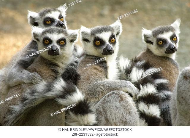Ring-tailed Lemur (Lemur catta) captive. Cincinnati Zoo, Cincinatti, Ohio, USA