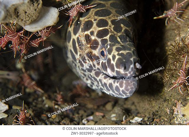 Juvenile Blackspotted Moray (Gymnothorax favagineus) with Clear Cleaner Shrimp (Urocaridella antonbrunii) on cheek with Dancing Shrimp (Rhynchocinetes...