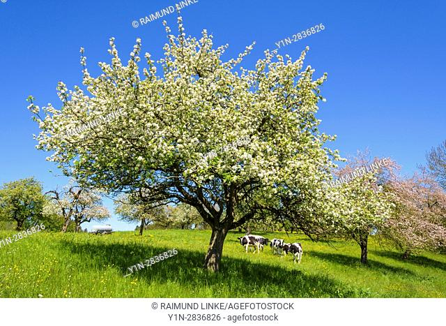 Blossoming apple trees with cow herd in spring, Tettnang, Baden-Wurttemberg, Germany