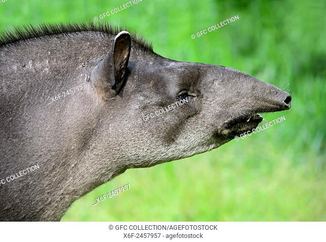 Female Amazonian tapir (Tapirus terrestris), Tapir family (Tapiridae), Amazon rainforest, Yasuni National Park, Ecuador
