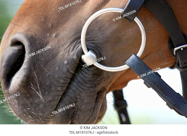 A horses mouth with bit, close up