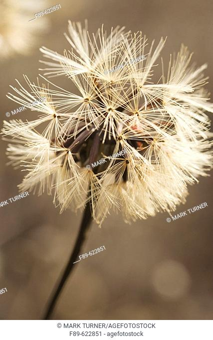 Composite flower seedhead, soft backlit. VanDusen, Vancouver, BC