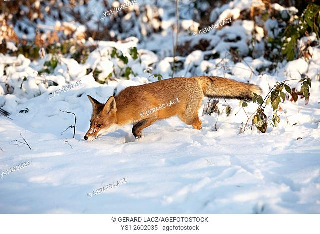 Red Fox, vulpes vulpes, Adult standing in Snow, Normandy
