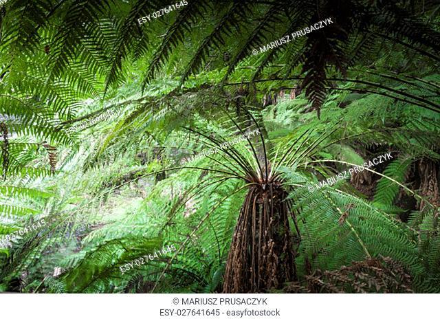 Tropical forest in Mount Field National Park, Tasmania. Australia