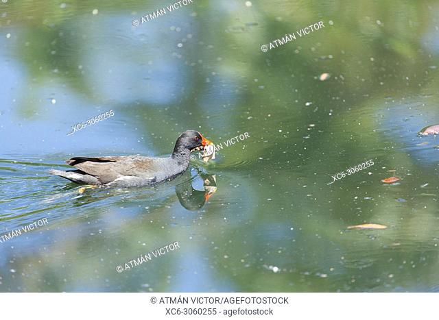 wild duck swimming in a pond. Image taken in Palmetum garden. Tenerife, Canary islands, Spain