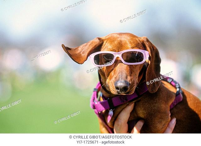 Dog wearing pink sunglasses, Austin, Texas