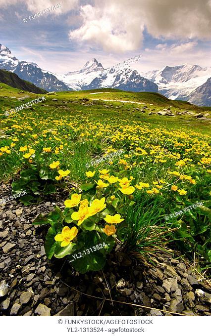 Alpine Marsh Marigolds  Caltha Palustris   Faulhorn Mountain , Bernese Alps  Switzerland