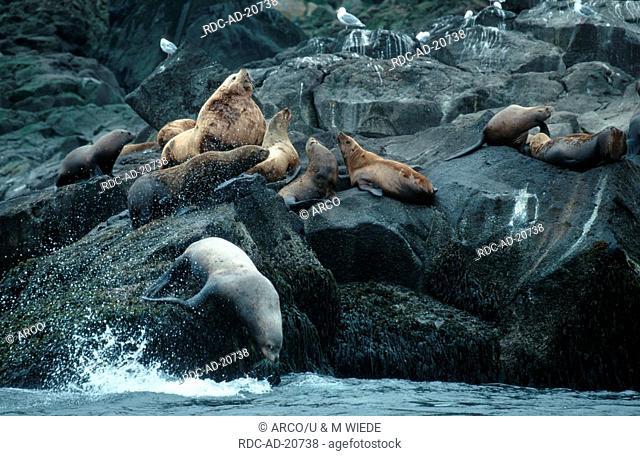 Steller's Sea Lions bull with harem Aleutian Islands Alaska USA Eumetopias jubatus