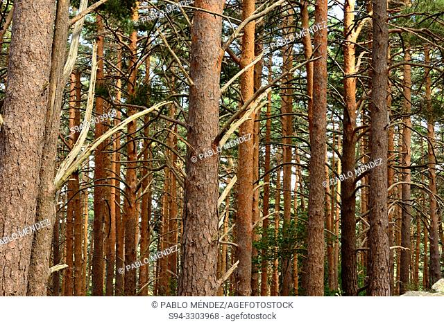 Pine wood in Dehesa del Moncayo nature park, Zaragoza, Spain
