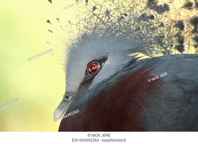 victoria crowned pidgeon, Goura victoria