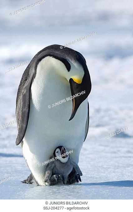 Emperor Penguin (Aptenodytes forsteri). Chick calling on the feet of a parent bird. Snow Hill Island, Antarctica