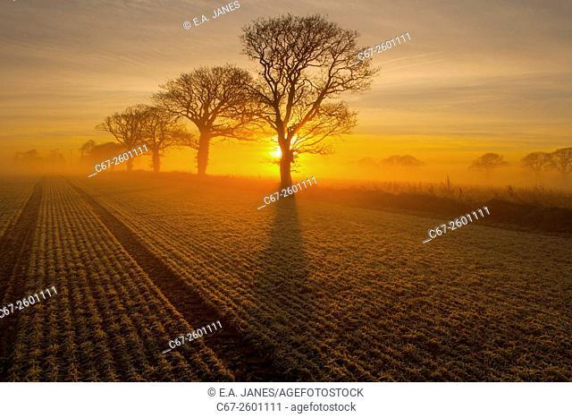 Arable and Oaks on a frosty sunrise Gimingham farmland Norfolk winter