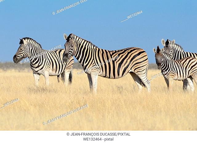 Burchell's zebras (Equus burchelli), male, female and foal, standing in dry grass, Etosha National Park, Namibia, Africa