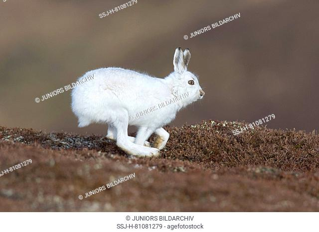 Mountain Hare (Lepus timidus), adult in white winter coat (pelage) running. Cairngorms National Park, Scotland
