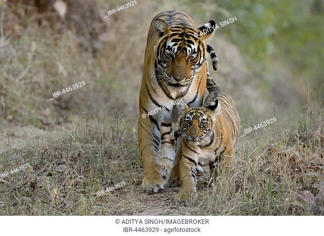 Bengal Tigers (Panthera tigris tigris), mother with cub walking, Ranthambhore National Park, Rajasthan, India