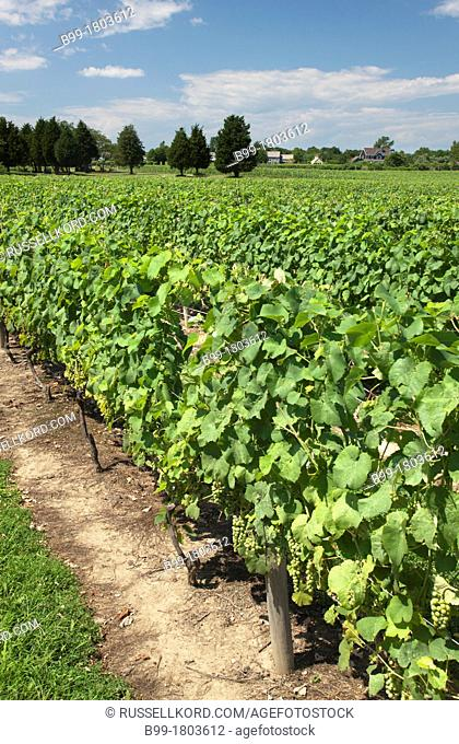 Vines At Duck Walk Winery Montauk Highway Water Mill Long Island New York State USA