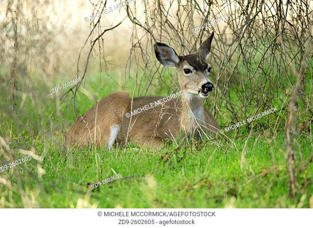 A doe in the American River Parkway