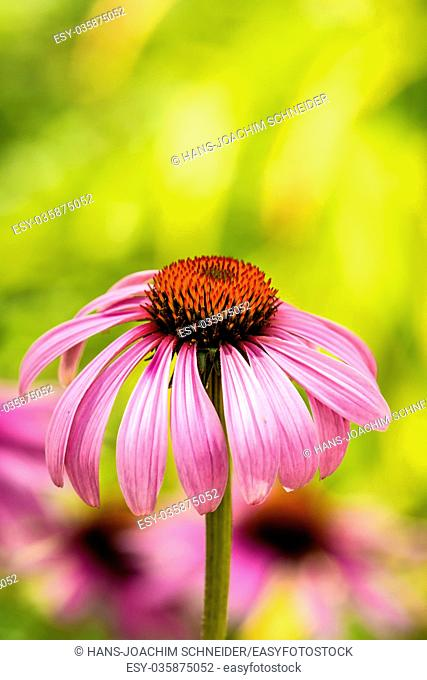 cone flower, American medicinal plant with flower