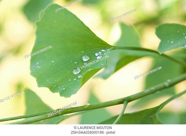 Dew drops on ginkgo leaf, close-up
